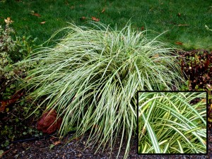Slug and snail resistant plants for Short variegated grass