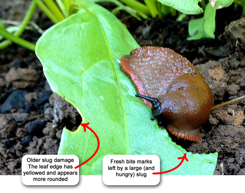 Getting Rid of Slugs with Coffee Grounds - Garden Myths