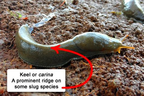 Slug and Snail Anatomy